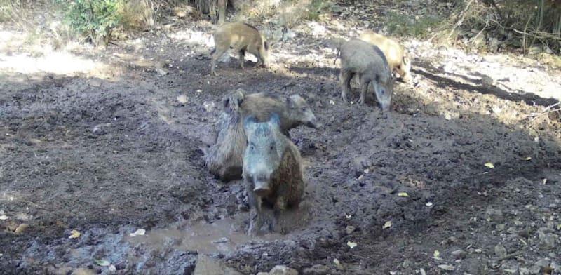 """נקודת הרטבה לחזירי טבעון. """"הפתרון זול ופשוט לביצוע"""" / צילום: רועי טלבי - אקולוגיה"""