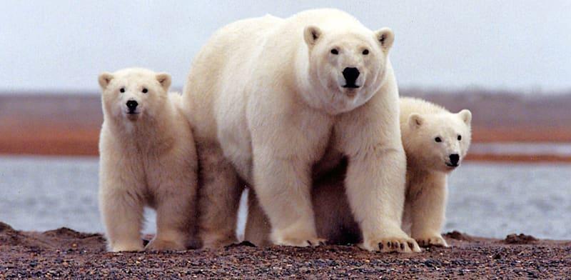 דובי קוטב בשמורת הטבע ANWR באלסקה / צילום: Reuters, Handout