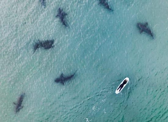 כרישים בשפך נחל חדרה / צילום: גל טוויג