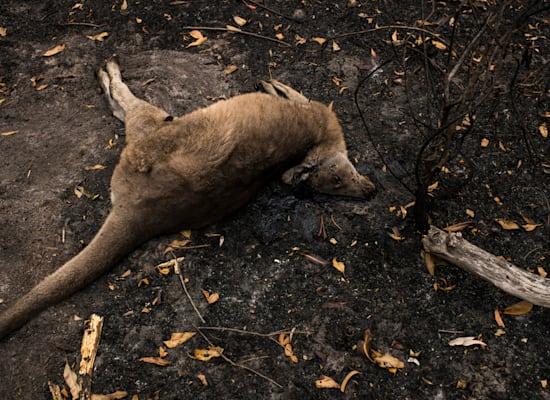 גופת קנגורו שלא שרד את השריפות באוסטרליה / צילום: Andrew Quilty / Greenpeace