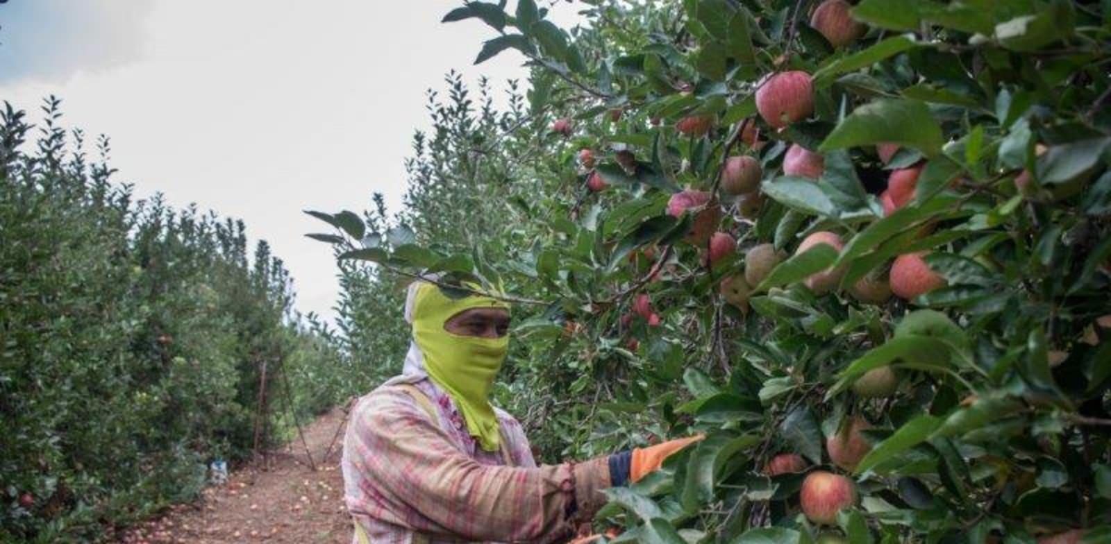 שדה תפוח תפוחים , חקלאות , חקלאים / צילום: אייל מרגולין