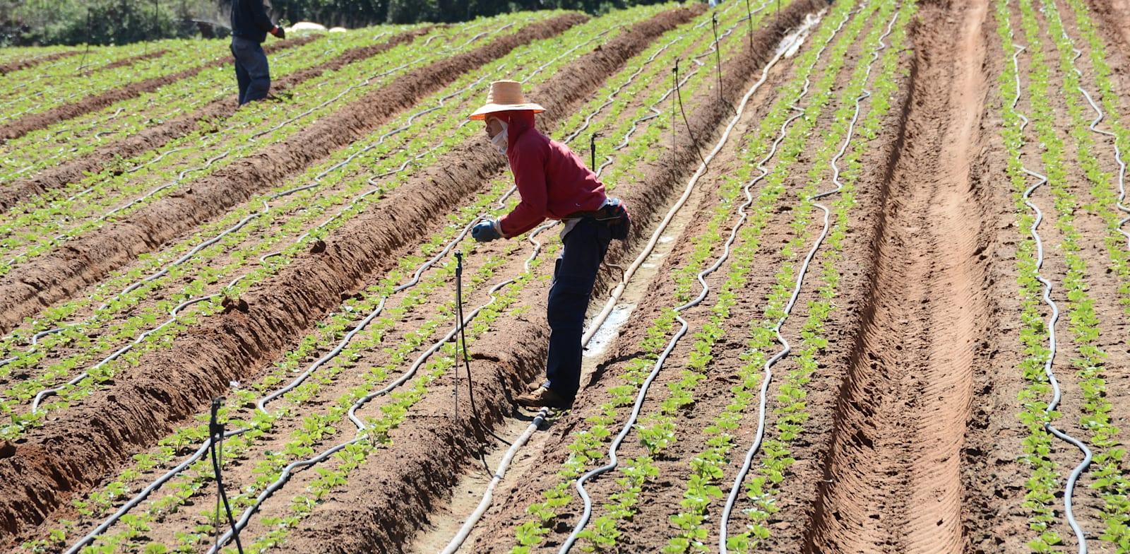 עובדים זרים עובדים בשדה / צילום: איל יצהר
