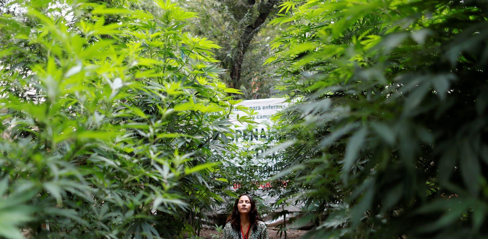 צמחי מריחואנה בחווה מאולתרת מחוץ לסנאט, בספטמבר. / צילום: Reuters, CARLOS JASSO