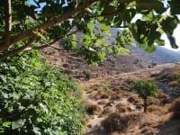 הר הרוח. טראסות קדומות, זית, חרוב, תאנה ורימון / צילום: יותם יעקבסון