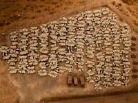עדר כבשים מתגודד בשעת האכלה. ליד קיבוץ רמות מנשה, 25 ביולי 2020 / צילום: יואל רוברט אסייג