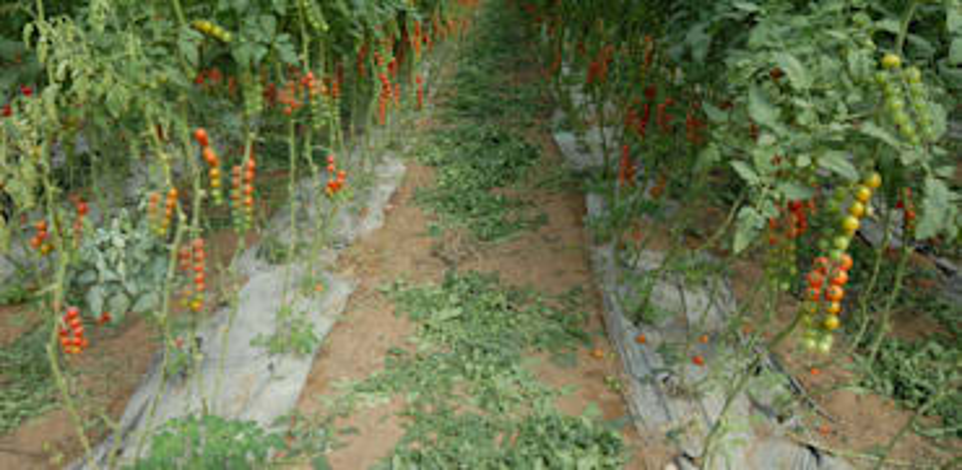 חקלאות - חממות גידול סברס ועגבניות / צילום: איל יצהר