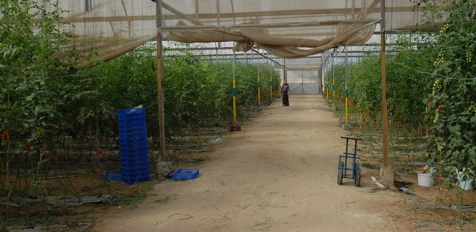 חממות גידול סברס ועגבניות / צילום: איל יצהר