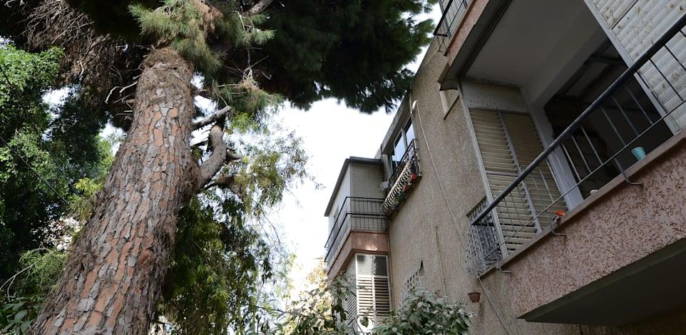 רחוב הבנים 9,  רמת גן. שני עצי אורן הוכרזו  כעצים לשימור / צילום: איל יצהר