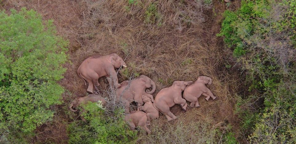 15 פילים הלכו לאיבוד בסין