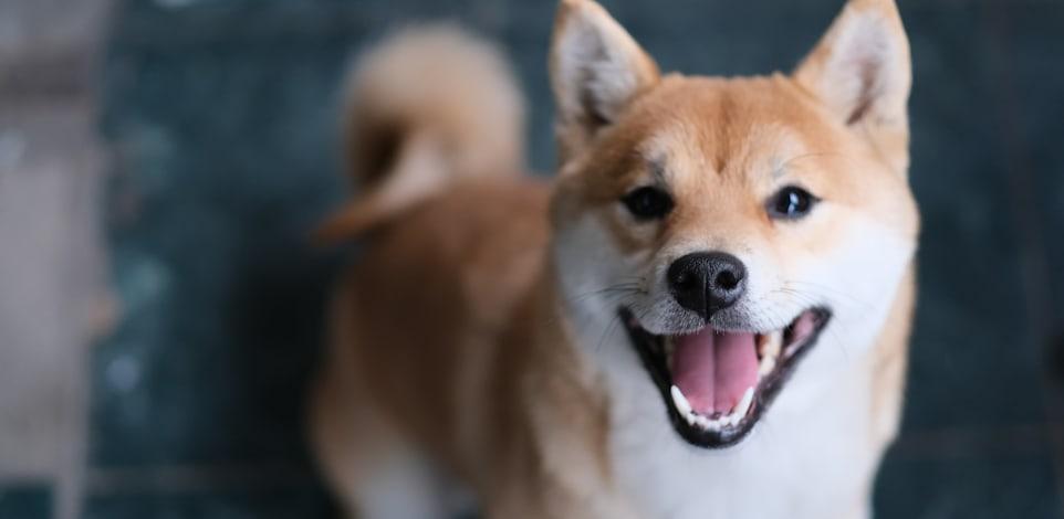המטבע שקרוי על שם גזע הכלבים שיבה אינו הגיע לשווי של 12 מיליארד ד' / צילום: Shutterstock, Robert Way