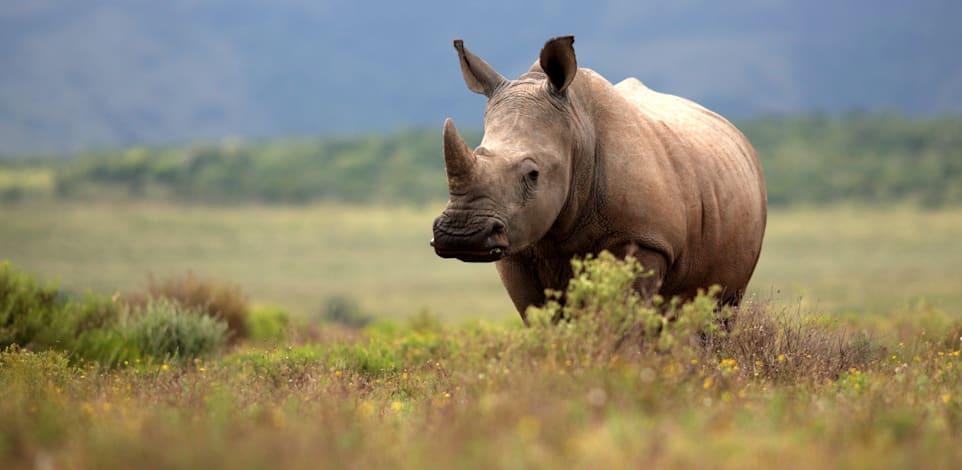 הגיע הזמן להכיר את אוכלוסיית ''הקרנפים הלבנים'' האפריקאית / צילום: Shutterstock, JONATHAN PLEDGER