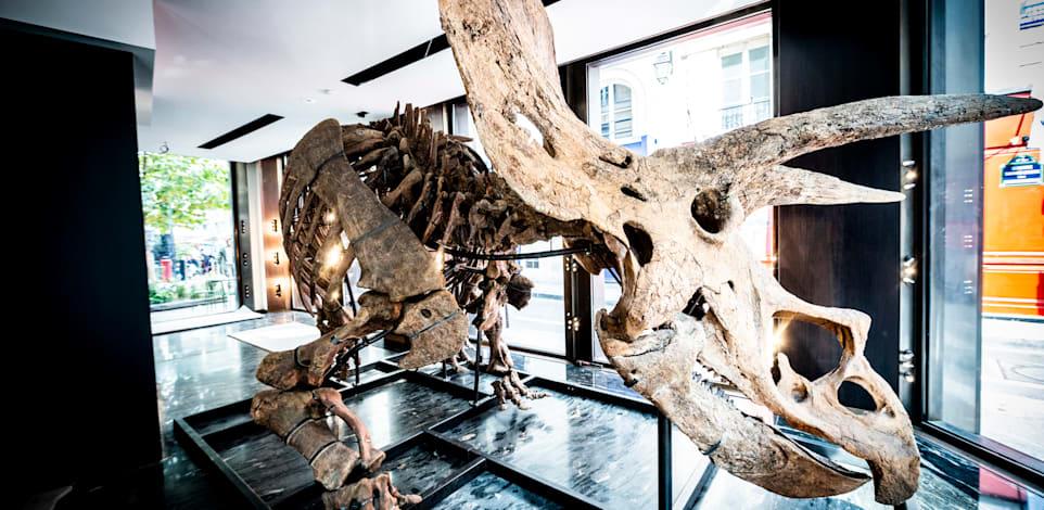 ביג ג'ון. שלד של טריצרטופס שנשמר מאובן בבוץ במשך 66 מיליון שנים / צילום: Reuters, JB Autissier / Panoramic