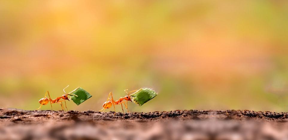 נמלים / צילום: Shutterstock, Thammanoon Khamchalee