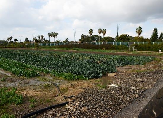 שדה חקלאי שנמצא בסמוך לרחוב השרף ברמת השרון / צילום: איל יצהר