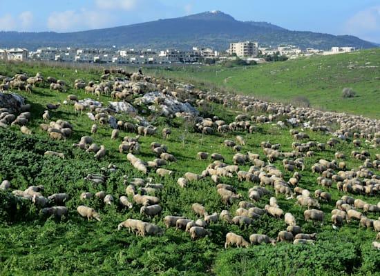 כבשים רועות בעמק השלום / צילום: איל יצהר