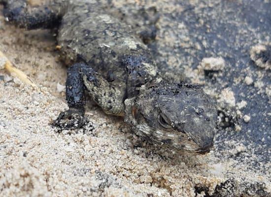 חרדון מצוי שנמצא חי כשהוא מכוסה בזפת בחוף דור / צילום: אייל כהן, רשות הטבע והגנים