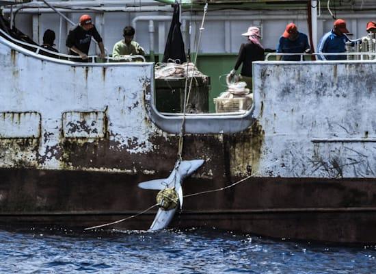 כריש נגרר על סיפונה של מכמורת דיג טונה באוקיינוס האטלנטי / צילום: Tommy Trenchard / Greenpeace