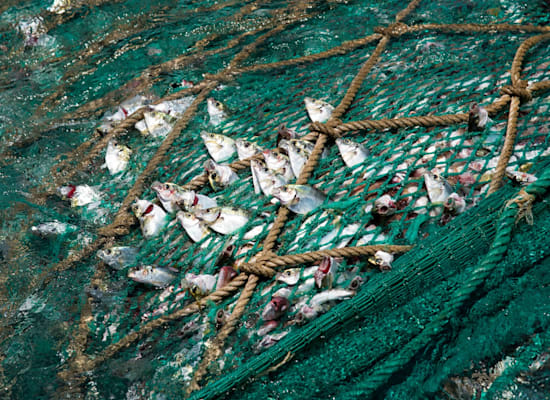 דגים ברשת מכמורת דיג סינית בגינאה, הסובלת מדיג יתר חמור ודילול הדגה / צילום: Pierre Gleizes / Greenpeace