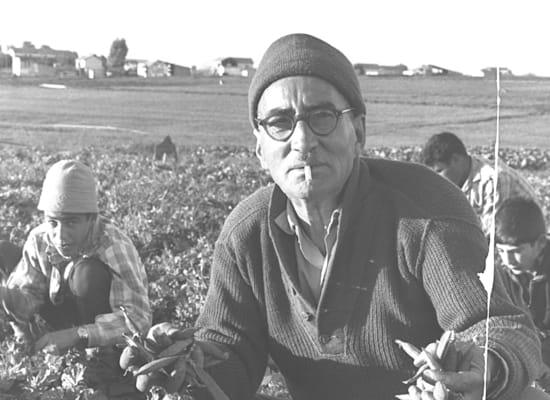 """קטיף אפונה במושב פדיה, 1962 / צילום: לע""""מ - פריץ כהן"""
