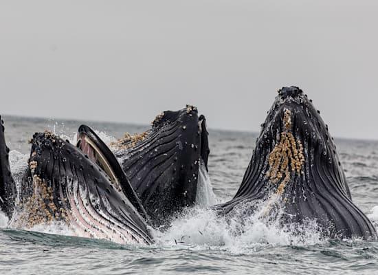 """ארה""""ב. לוויתן מונטריי / צילום: Vivek Kumar"""