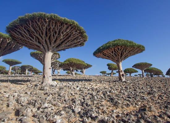 """עצי """"דם הדרקון"""" באי סוקוטרה השייך לתימן; / צילום: Shutterstock"""