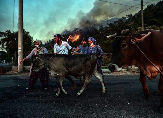 אנשים בורחים מבתיהם עם חיות המשק שלהם בעוד השריפות באזור היסרונו הטורקי יוצאות משליטה / צילום: Associated Press
