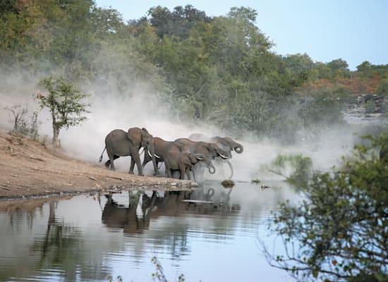 פילים בפארק קרוגר. חנות המזכרות מכרה צמידים משיער פילים וחטיפי בשר פילים מיובש / צילום: Shutterstock