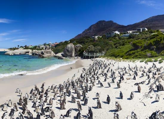 מושבת הפינגווינים האפריקאים של בולדֶרס / צילום: Shutterstock