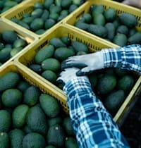 יבולי אבוקדו / צילום: Shutterstock