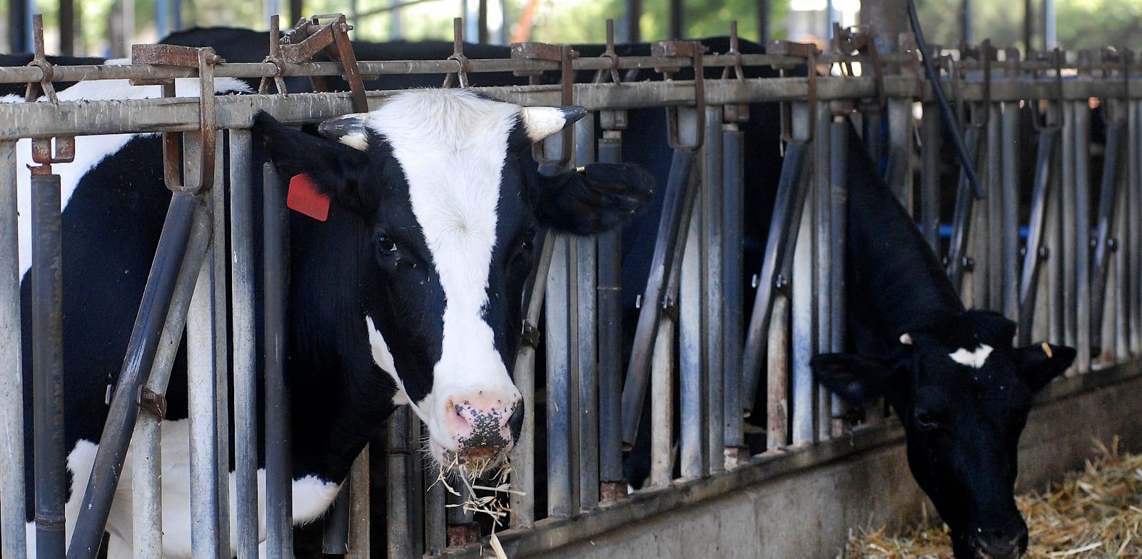 פרות ברפת. משרד החלקאות מצוי בניגוד ענייניים בנושא זכויות חיות המשק / צילום: איל יצהר