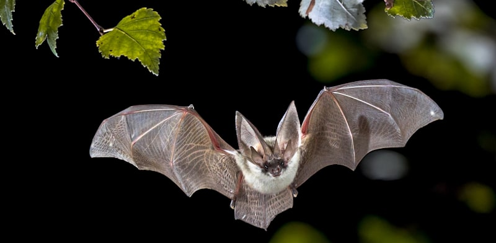 עטלף. יותר מ־60% מהמחלות הזיהומיות המתגלות בבני אדם כיום מגיעות מבעלי חיים / צילום: Shutterstock