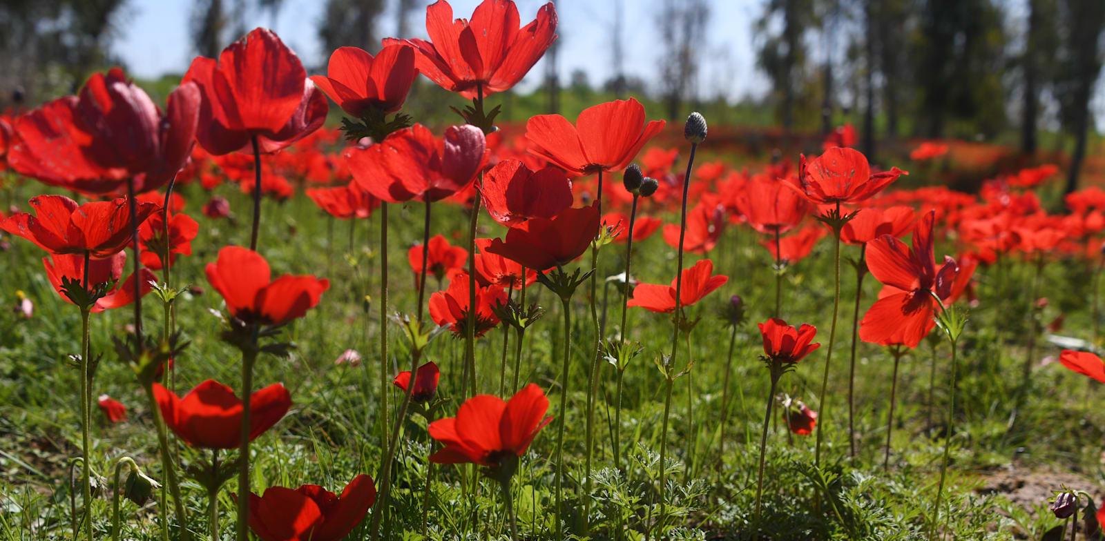 מרבדים של אדום. באר מרווה / צילום: יותם יעקבסון