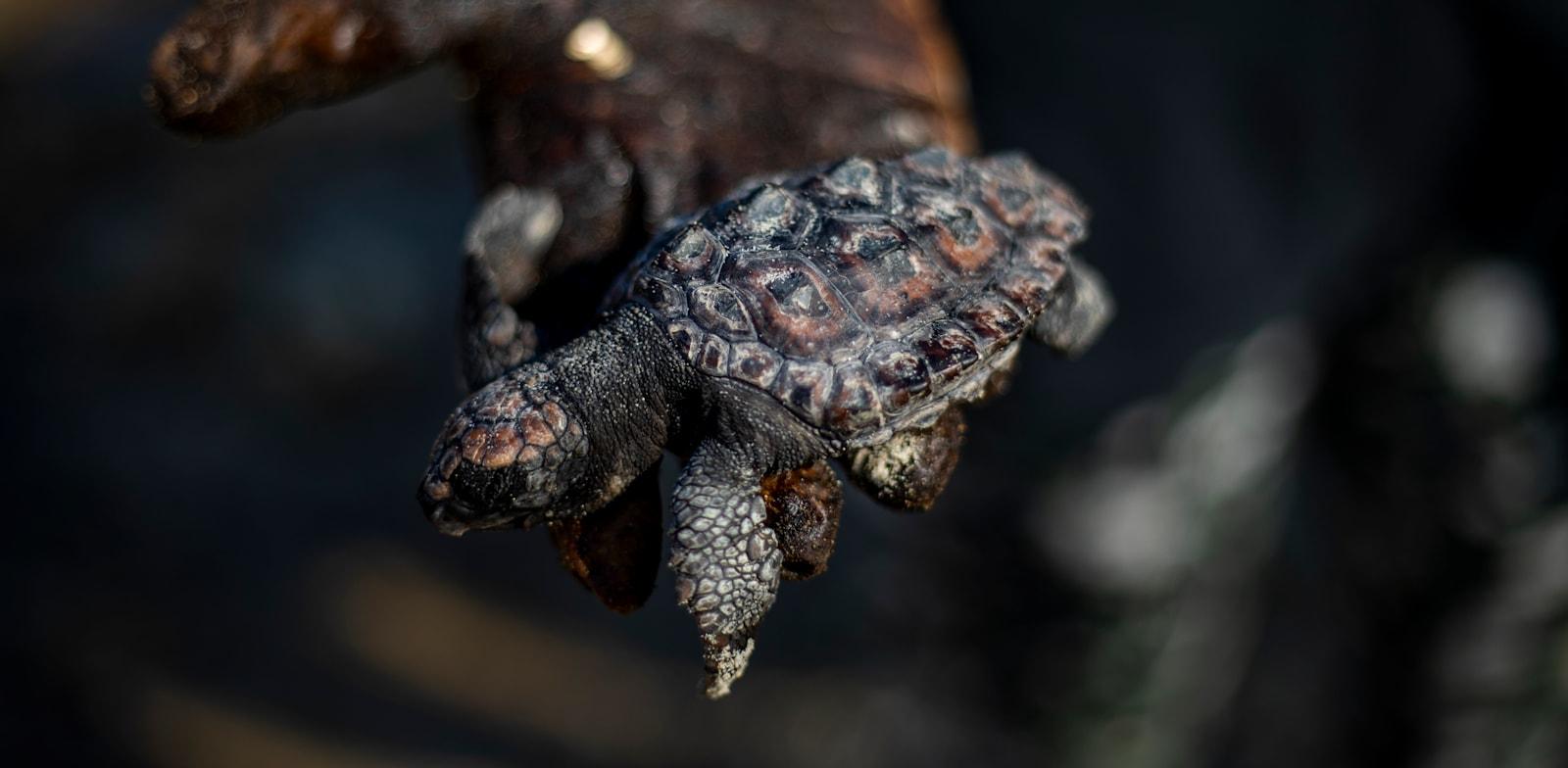 צב מת מכוסה בזפת בשמורת הטבע גדור / צילום: Associated Press, Ariel Schalit