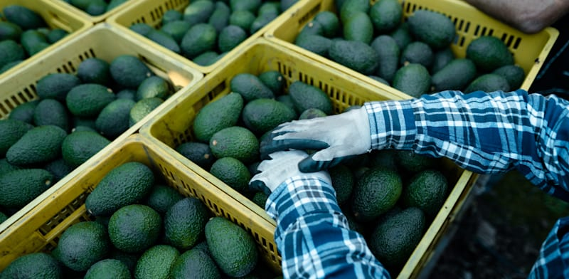 Avocado harvest  credit: Shutterstock