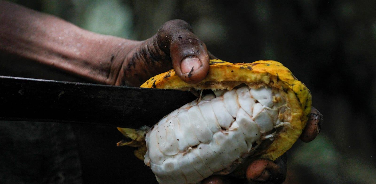 חקלאי חותך קקאו בחוף השנהב. במדינות רבות פועלי קטיף מוחזקים בתנאי עבדות / צילום: Reuters