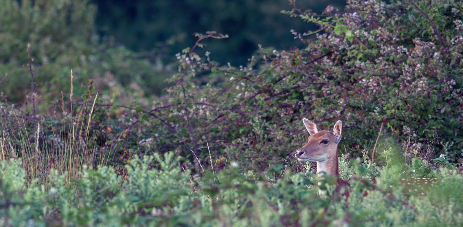 צבי באזור שעובר ReWilding בבריטניה / צילום: Shutterstock, SciPhi.tv