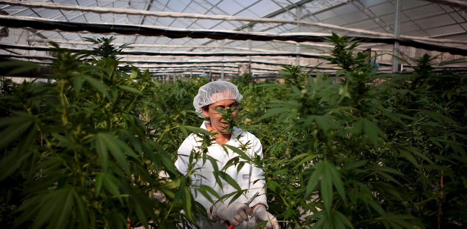 חוות קנאביס בישראל / צילום: Associated Press, Dan Balilty
