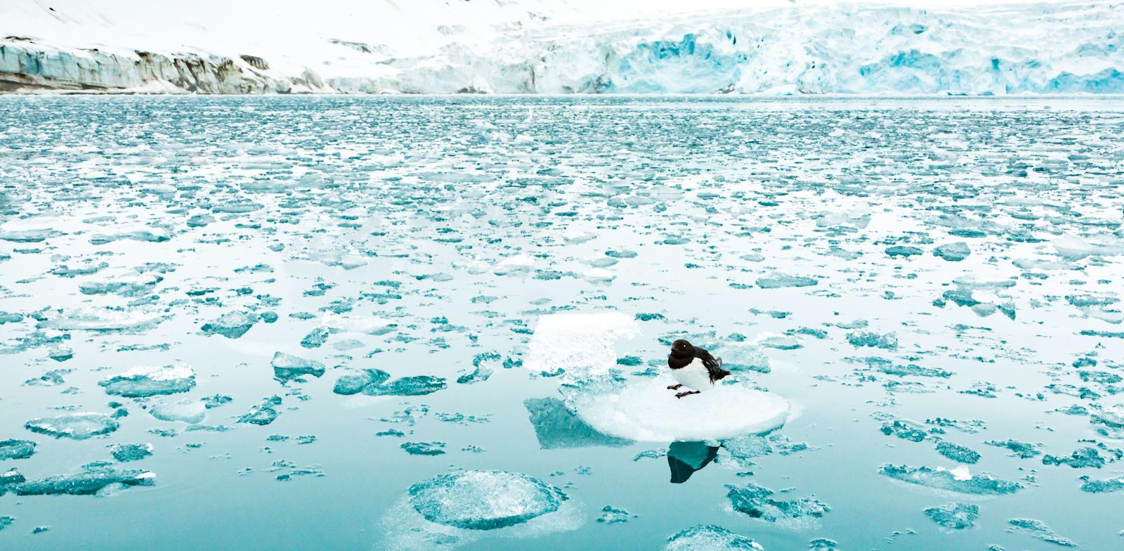 יונת ים בודדה על קרחון באזור האוקיינוס הארקטי