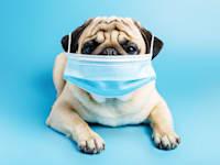 כלב עם מסכה.  גם אחרי שנה אין דרך לדעת איזו מסכה תקינה / צילום: Shutterstock, Katya Degtyareva