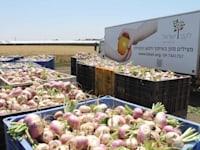 ארגזי לפתות / צילום: לקט ישראל