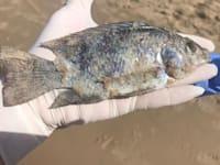 דג מת שנפלט לחוף בהרצליה במהלך אסון הזפת / צילום: עומר סלע