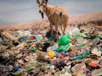 יעל עומד על ערימת זבל / צילום: עמרי יוסף עומסי, רשות הטבע והגנים