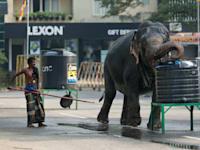 פיל מבוית שותה מים במהלך פסטיבל בקולומבו, סרי לנקה / צילום: Associated Press, Eranga Jayawardena