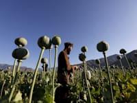 חקלאי אפגני בשדה פרג במחוז נאנגרהר שבאפגניסטן / צילום: Reuters, Parwiz Parwiz