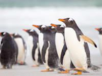 פינגווינים באיי פוקלנד / צילום: Shutterstock