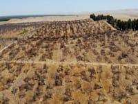 מטע בקליפורניה שננטש בגלל הבצורת / צילום: Associated Press, Adam Beam