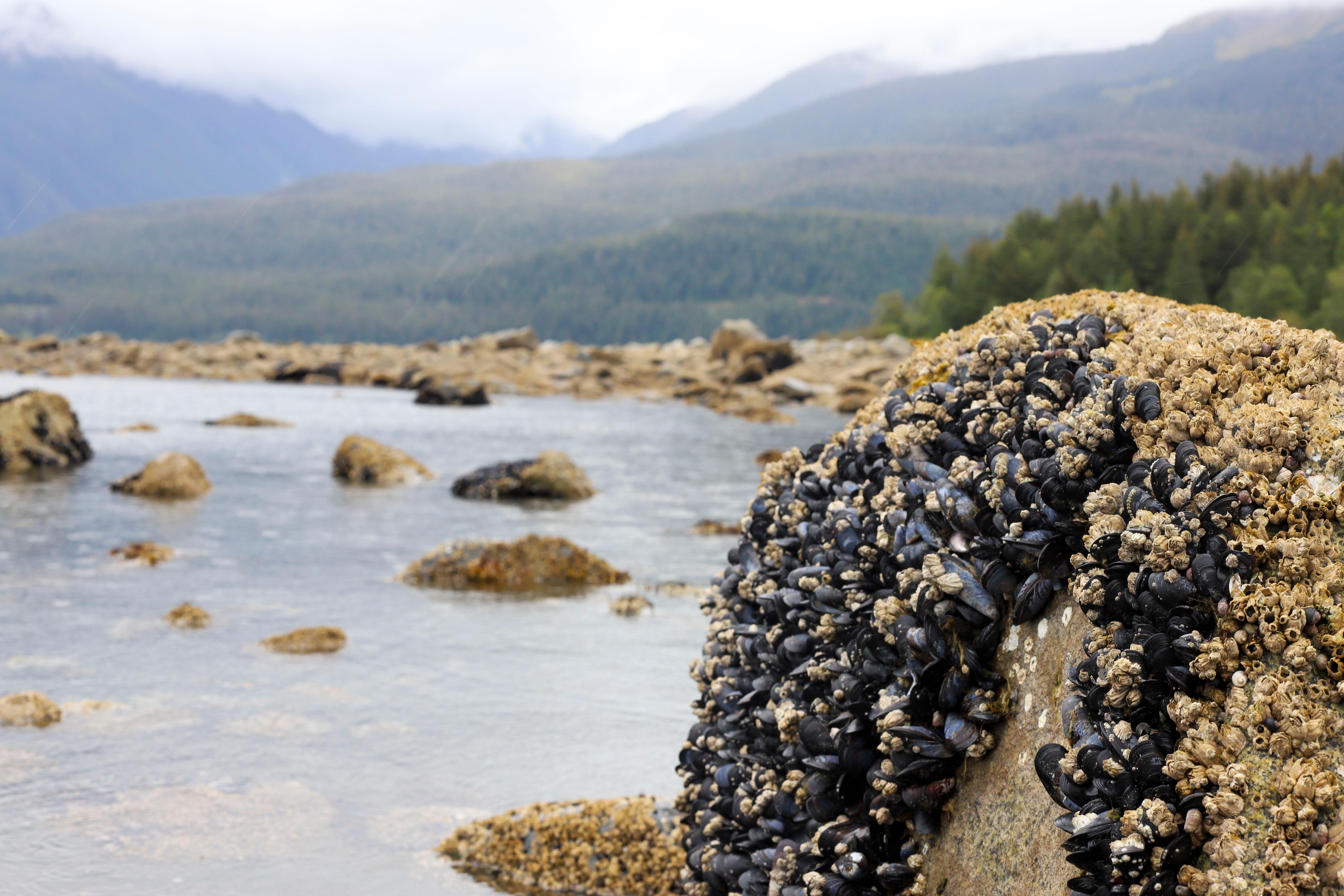 קונכיות כחולות באלסקה