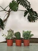 Pianta Succulenta media