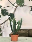 Succulenta grande