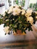 Azalea grande bianca o rosa